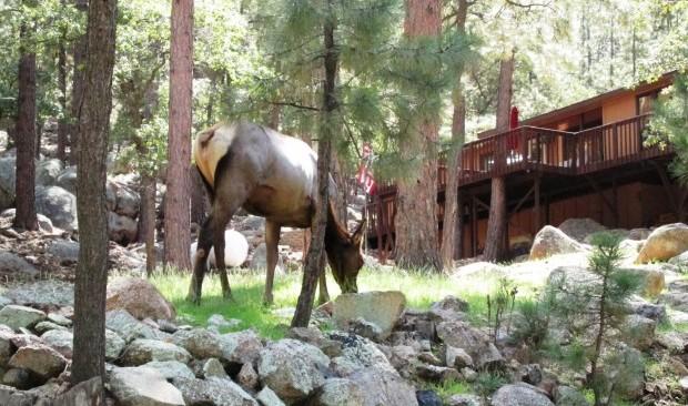 Pine Lake Elk 2 ab60b8 620x411 506a1d 620x366 9b975a